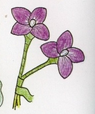 harisnyavirág hortenzia 4