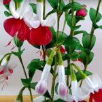 Fukszia – a fehér-piros virágcsoda