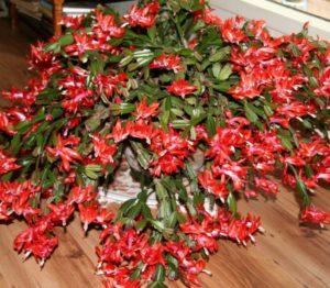 karácsonyi kaktusz fotó