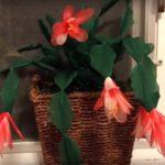 Karácsonyi kaktusz harisnyából