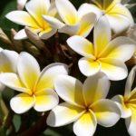 Az egyszerű és bájos fehér frangipáni