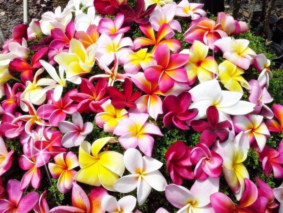 színes frangipáni harisnyavirág