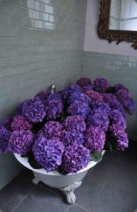 lila hortenzia harisnyavirág