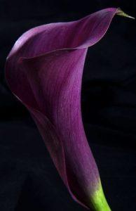 lila kála harisnyavirág