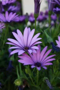 lila margaréta harisnyavirág
