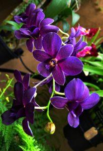 lila orchidea harisnyavirág