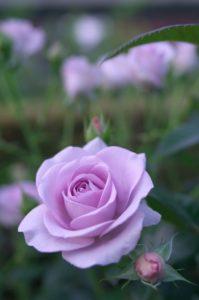 lila rózsa harisnyavirág