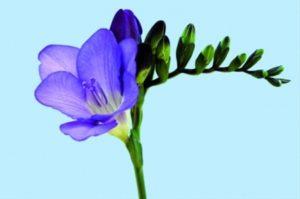 kék frézia harisnyavirág