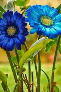 kék gerbera harisnyavirág