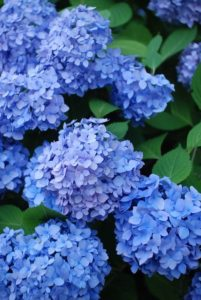 kék hortenzia harisnyavirág