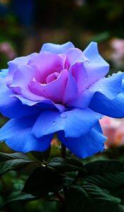 kék lila harisnyavirág rózsa