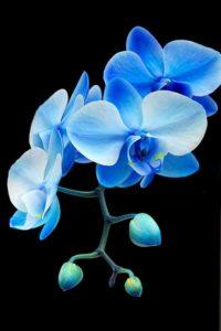 kék orchidea harisnyavirág