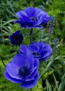 kék pipacs harisnyavirág