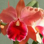 Cattleya orchidea harisnyából