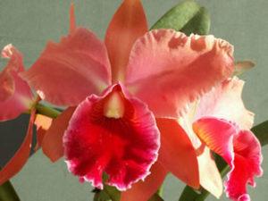 cattleya orchidea harisnyavirág