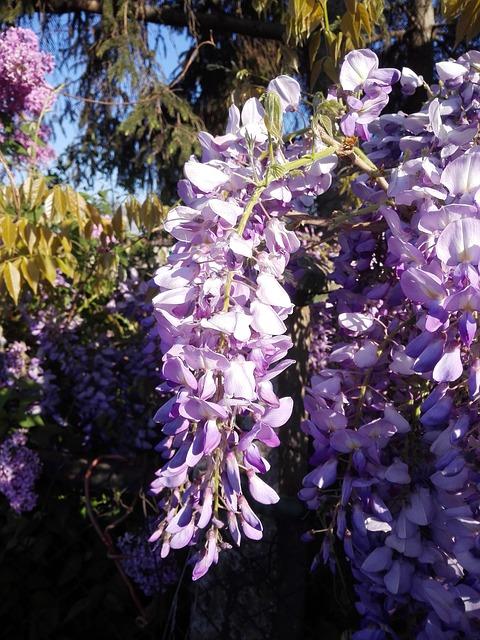 lila akác harisnyavirág