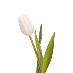 tulipán harisnyavirág
