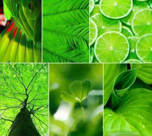 zöld harisnyavirág