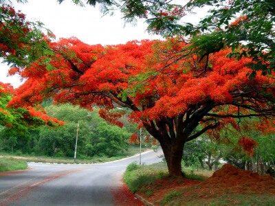 A trópusi fák királya harisnyából