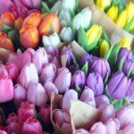 Színpompás tulipánok