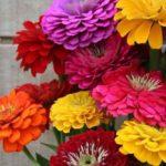 Harisnya-rézvirág