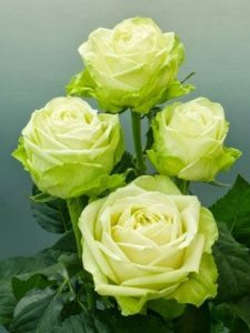 rózsa