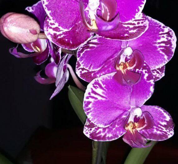 Lepke orchideák színváltozatai II.