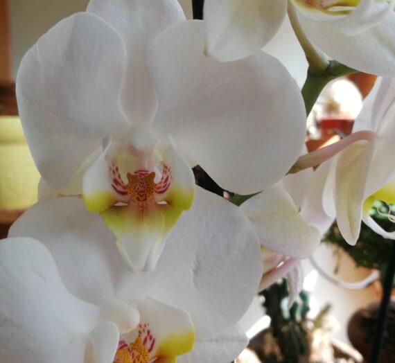 Lepke orchideák színváltozatai