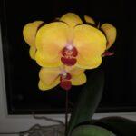 Lepke orchideák színváltozatai III.
